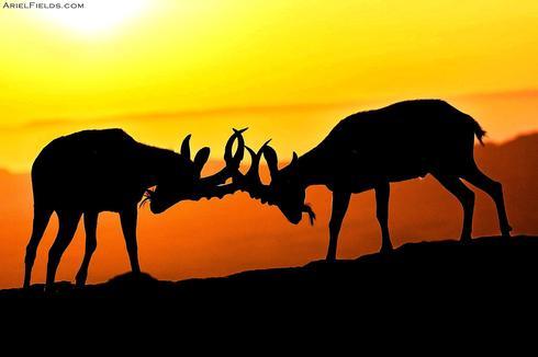 יעלים נלחמים בזריחה בנגב. צילום: אריאל פילדס