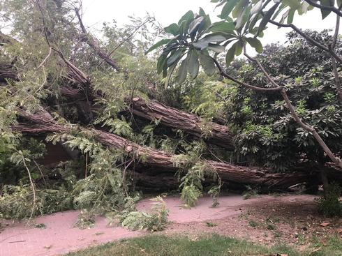 """העץ שקרס בשער הגולן (צילום: דוברות המוא""""ז עמק הירדן)"""